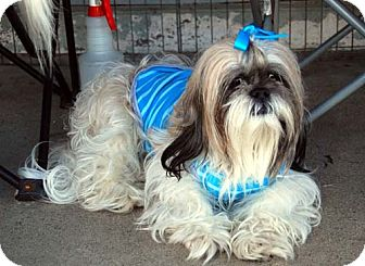 Lhasa Apso Dog for adoption in Los Angeles, California - FANTASIA