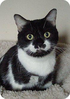Domestic Shorthair Cat for adoption in Acushnet, Massachusetts - Oreo I