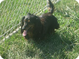 Dachshund Dog for adoption in Prole, Iowa - Diamond