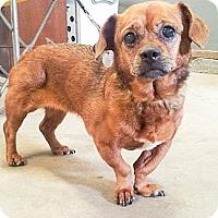 Adopt A Pet :: Star - Puyallup, WA