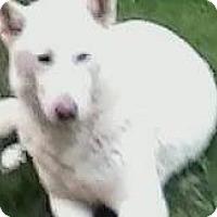 Adopt A Pet :: Bear - Stamford, CT