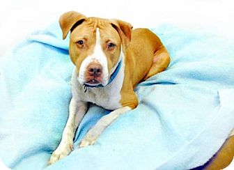 Pit Bull Terrier Mix Dog for adoption in Providence, Rhode Island - Diamond CP in NY