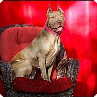 Adopt A Pet :: Cashmere - Tampa, FL