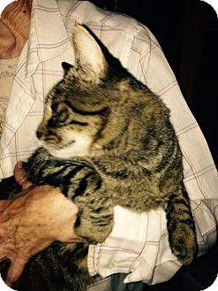 Domestic Shorthair Cat for adoption in Cardwell, Montana - Meagher (pronouced Mar)