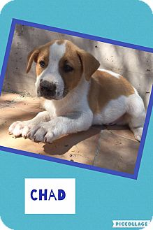 Shepherd (Unknown Type)/Pit Bull Terrier Mix Puppy for adoption in Scottsdale, Arizona - Chad