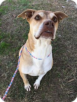 American Pit Bull Terrier Mix Dog for adoption in Colonial Heights animal shelter, Virginia - Junior