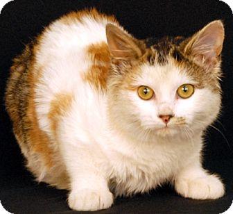 Calico Cat for adoption in Newland, North Carolina - Sprinkles
