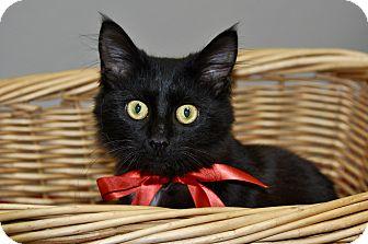 Domestic Mediumhair Kitten for adoption in Lakeland, Florida - LEOPOLD