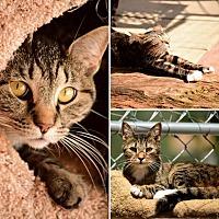 Adopt A Pet :: Bandit - Palo Cedro, CA