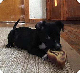 Australian Cattle Dog Mix Puppy for adoption in Westminster, Colorado - Raff