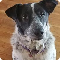 Border Collie/Australian Shepherd Mix Dog for adoption in Eureka Springs, Arkansas - Millie