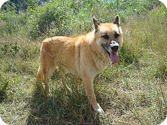 German Shepherd Dog/Shepherd (Unknown Type) Mix Dog for adoption in Redmond, Washington - King