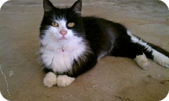 Domestic Mediumhair Cat for adoption in Ft. Lauderdale, Florida - Desiree