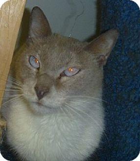 Siamese Cat for adoption in Hamburg, New York - Toby Keith