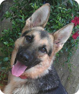 German Shepherd Dog Dog for adoption in Georgetown, Kentucky - Bella