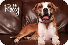 Boxer/American Pit Bull Terrier Mix Dog for adoption in Las Vegas, Nevada - Rally