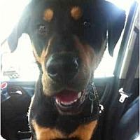 Adopt A Pet :: Leo - Alexandria, VA