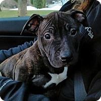 Adopt A Pet :: Shiera - bridgeport, CT