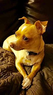 Chihuahua Puppy for adoption in Yorba Linda, California - Joey- female