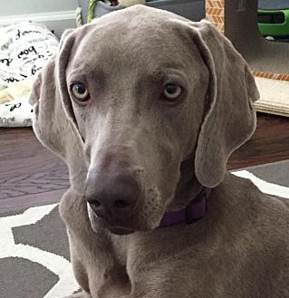 Weimaraner Dog for adoption in Sun Valley, California - Beata