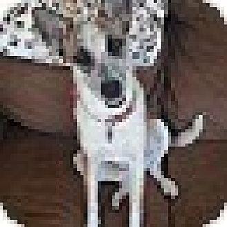 Australian Cattle Dog Mix Dog for adoption in Malibu, California - ROSIE