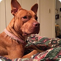 French Bulldog/American Staffordshire Terrier Mix Dog for adoption in selden, New York - Mia