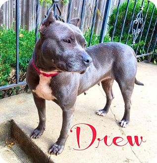 American Pit Bull Terrier Dog for adoption in Des Moines, Iowa - Drew