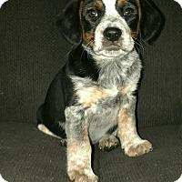 Adopt A Pet :: Pudge - Las Cruces, NM