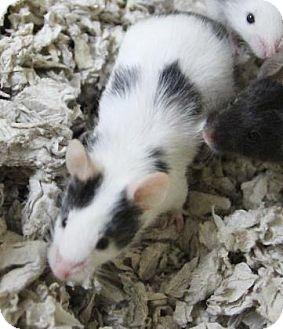 Mouse for adoption in Benbrook, Texas - Marlin