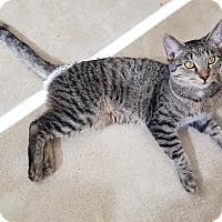 Adopt A Pet :: Boxcar - Chicago, IL