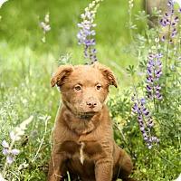 Adopt A Pet :: Cali - Auburn, CA