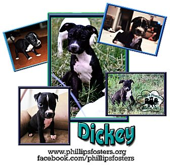 American Bulldog/American Pit Bull Terrier Mix Puppy for adoption in Colleyville, Texas - Dickey
