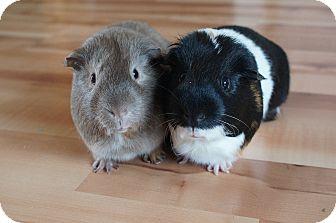 Guinea Pig for adoption in Brooklyn Park, Minnesota - Bob & Mr. Pickles