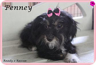 Schnauzer (Miniature)/Yorkie, Yorkshire Terrier Mix Dog for adoption in Rockwall, Texas - Jasmine