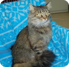 Maine Coon Cat for adoption in Bradenton, Florida - Joyce