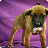 Adopt A Pet :: Hey Jude - Broomfield, CO