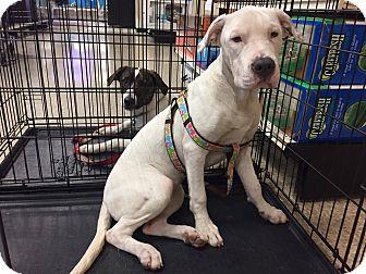 Pit Bull Terrier/Cocker Spaniel Mix Dog for adoption in Arlington/Ft Worth, Texas - Wesslyne