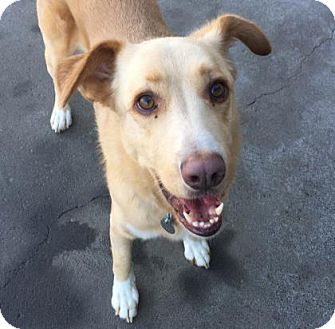 Golden Retriever Mix Dog for adoption in The Dalles, Oregon - Peter