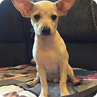 Adopt A Pet :: Einstein - Wethersfield, CT