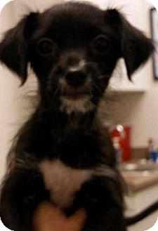 Poodle (Toy or Tea Cup) Mix Puppy for adoption in Tijeras, New Mexico - Beast