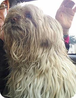 Shih Tzu Mix Dog for adoption in Las Vegas, Nevada - Sophia