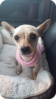 Chihuahua Mix Dog for adoption in Los Angeles, California - EVE