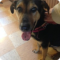 Shepherd (Unknown Type) Mix Dog for adoption in Portland, Maine - Regan