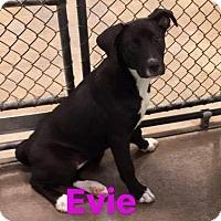 Adopt A Pet :: Evie - Hopkinton, MA