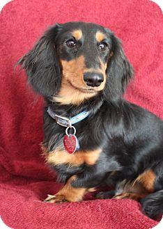 Dachshund Puppy for adoption in Wichita, Kansas - Luke