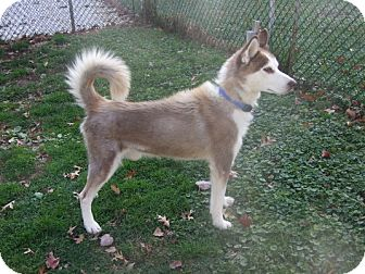 Siberian Husky Dog for adoption in Madison, Wisconsin - Connor