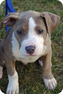 Pit Bull Terrier Mix Puppy for adoption in Reisterstown, Maryland - Chewie