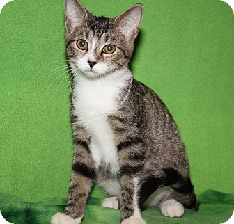 Domestic Shorthair Cat for adoption in Marietta, Ohio - Alcide (Sookie's Kitten)