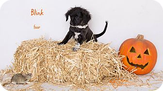 Terrier (Unknown Type, Small)/Pug Mix Puppy for adoption in Riverside, California - Blink