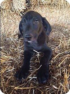 Labrador Retriever Mix Puppy for adoption in Bedminster, New Jersey - Collins